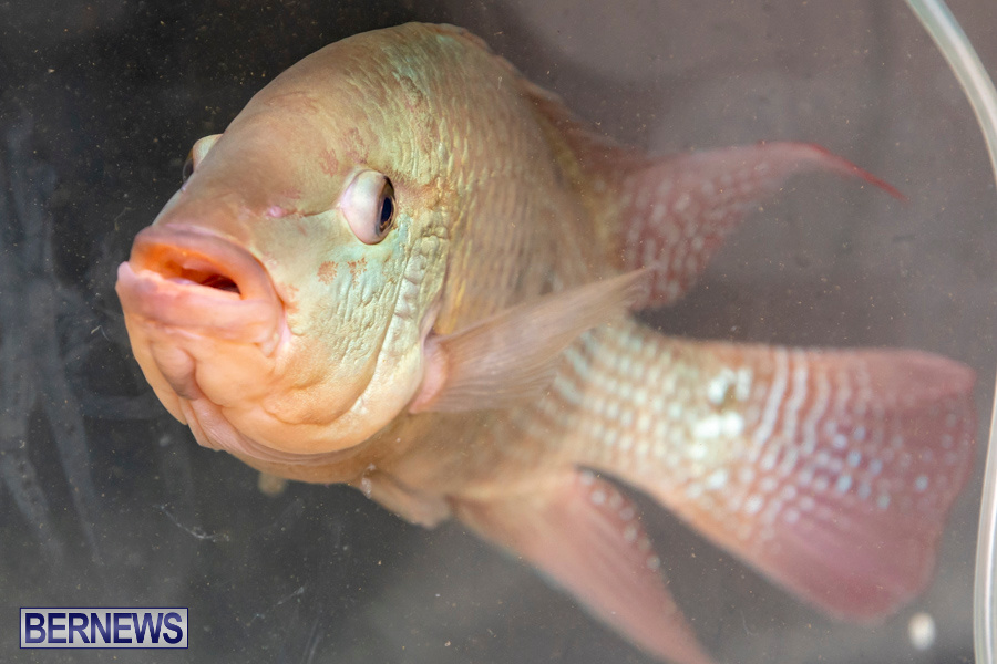 Bermuda-Fry-Angle-Aquarium-Society-Annual-Tropical-Fish-Show-November-16-2019-2455