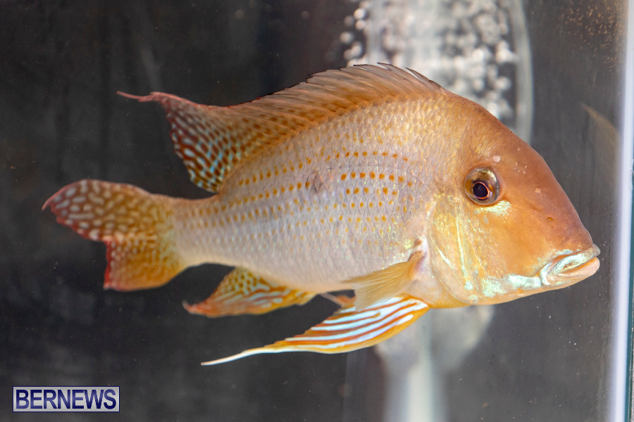 Bermuda-Fry-Angle-Aquarium-Society-Annual-Tropical-Fish-Show-November-16-2019-2457