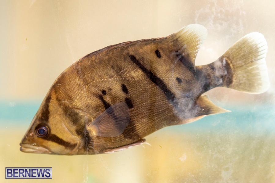 Bermuda-Fry-Angle-Aquarium-Society-Annual-Tropical-Fish-Show-November-16-2019-2467