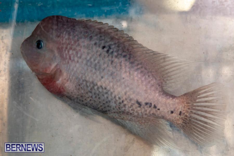 Bermuda-Fry-Angle-Aquarium-Society-Annual-Tropical-Fish-Show-November-16-2019-2475