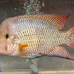 Bermuda Fry-Angle Aquarium Society Annual Tropical Fish Show, November 16 2019-2477