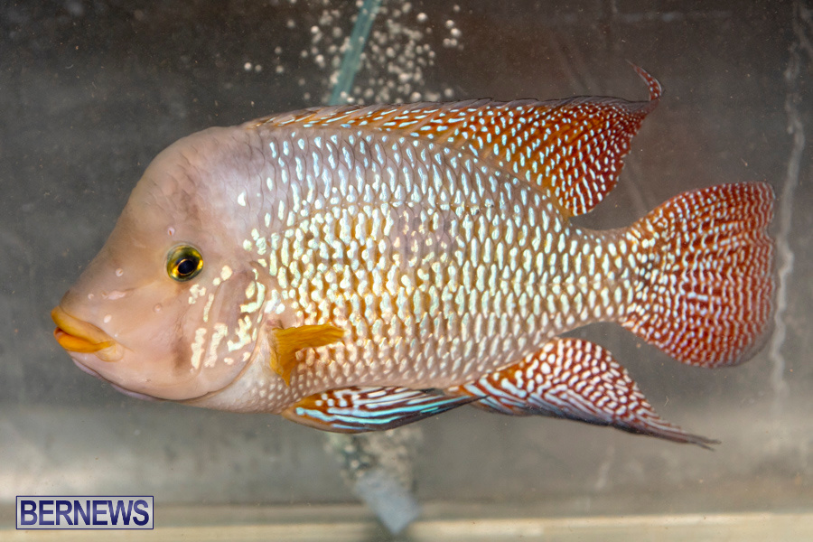Bermuda-Fry-Angle-Aquarium-Society-Annual-Tropical-Fish-Show-November-16-2019-2477