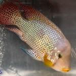 Bermuda Fry-Angle Aquarium Society Annual Tropical Fish Show, November 16 2019-2480