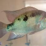 Bermuda Fry-Angle Aquarium Society Annual Tropical Fish Show, November 16 2019-2490