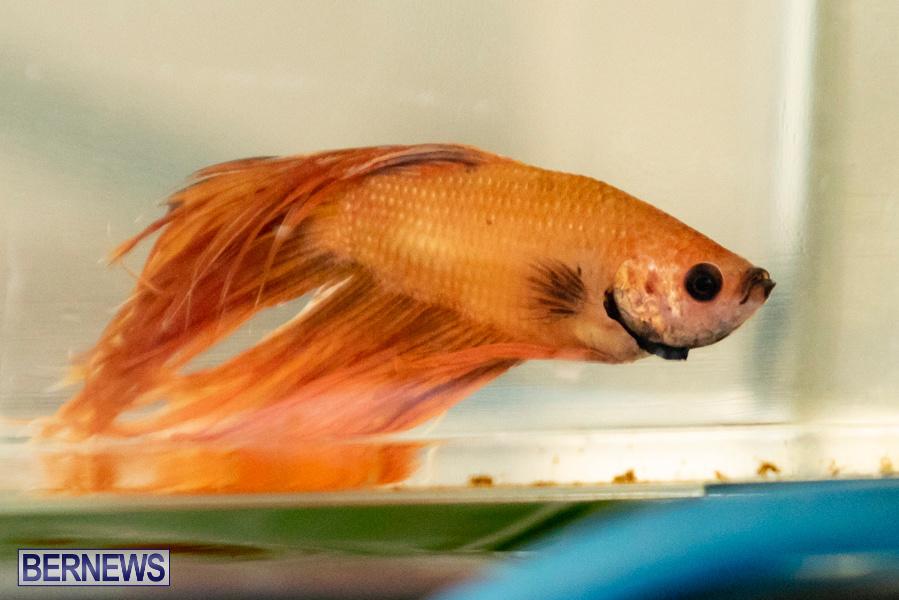 Bermuda-Fry-Angle-Aquarium-Society-Annual-Tropical-Fish-Show-November-16-2019-2494