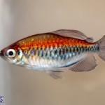Bermuda Fry-Angle Aquarium Society Annual Tropical Fish Show, November 16 2019-2503