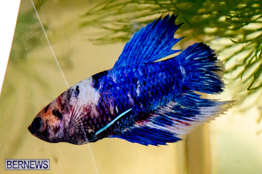 Bermuda-Fry-Angle-Aquarium-Society-Annual-Tropical-Fish-Show-November-16-2019-2525