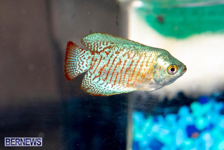 Bermuda-Fry-Angle-Aquarium-Society-Annual-Tropical-Fish-Show-November-16-2019-2531