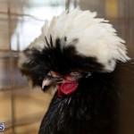 Bermuda Poultry Fanciers Society Fall Jamboree, November 9 2019-1239