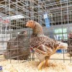 Bermuda Poultry Fanciers Society Fall Jamboree, November 9 2019-1250