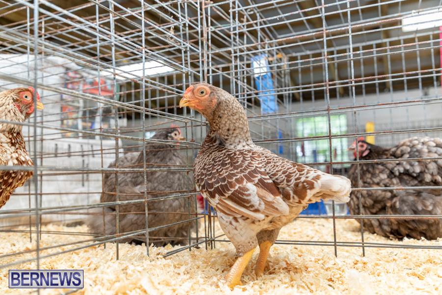 Bermuda-Poultry-Fanciers-Society-Fall-Jamboree-November-9-2019-1250