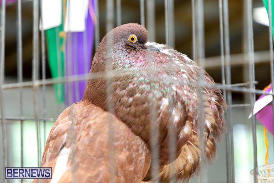 Bermuda-Poultry-Fanciers-Society-Fall-Jamboree-November-9-2019-1289