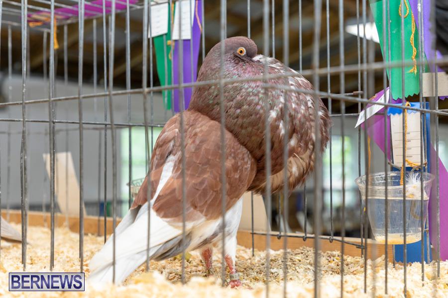 Bermuda-Poultry-Fanciers-Society-Fall-Jamboree-November-9-2019-1290