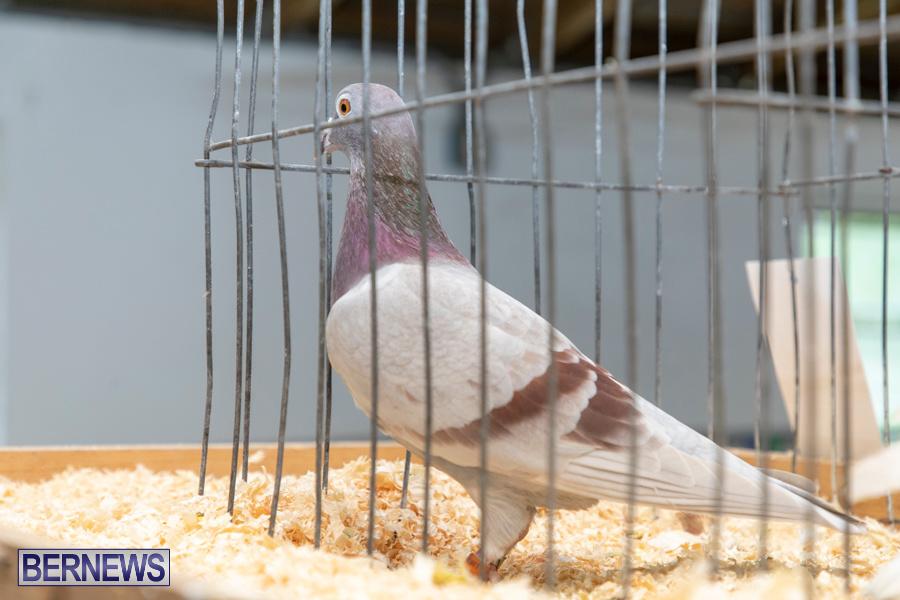 Bermuda-Poultry-Fanciers-Society-Fall-Jamboree-November-9-2019-1291