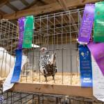 Bermuda Poultry Fanciers Society Fall Jamboree, November 9 2019-1294