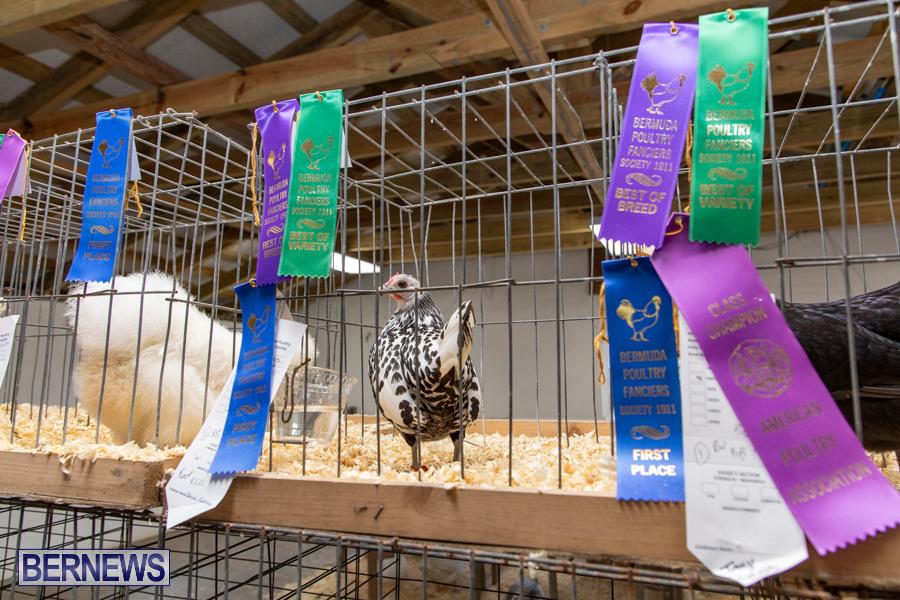 Bermuda-Poultry-Fanciers-Society-Fall-Jamboree-November-9-2019-1294