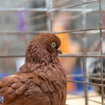 Bermuda Poultry Fanciers Society Fall Jamboree, November 9 2019-1310