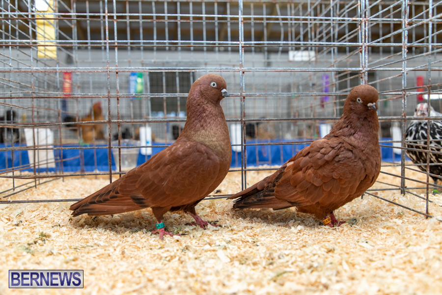 Bermuda-Poultry-Fanciers-Society-Fall-Jamboree-November-9-2019-1312