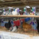 Bermuda Poultry Fanciers Society Fall Jamboree, November 9 2019-1370