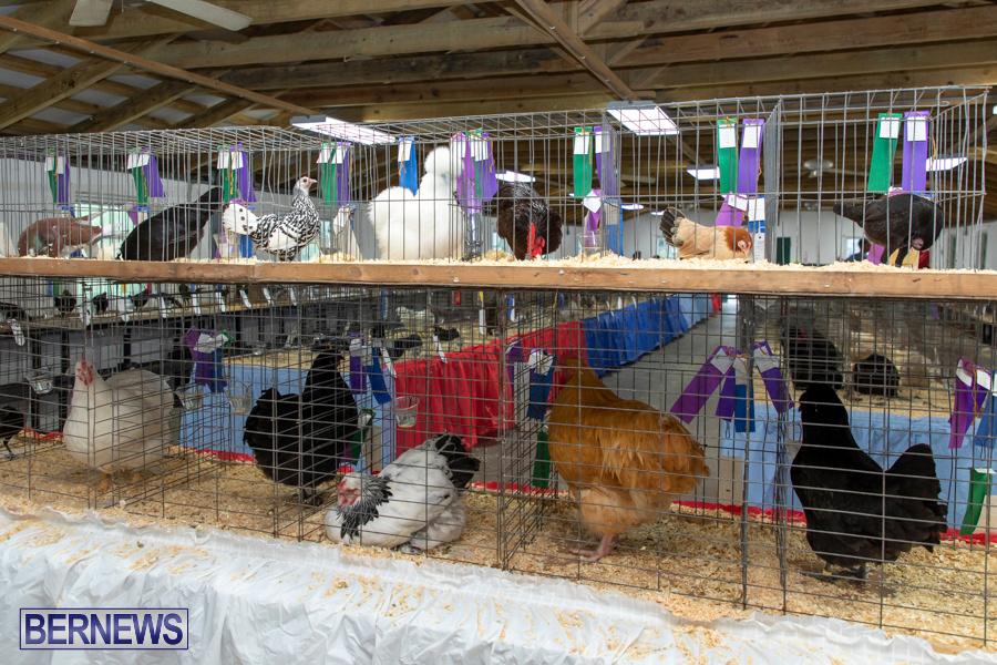 Bermuda-Poultry-Fanciers-Society-Fall-Jamboree-November-9-2019-1370