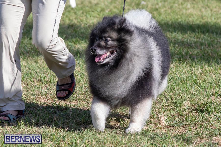 Devils-Isle-All-Breed-Club-2019-Bermuda-International-Dog-Shows-Bermuda-November-2-2019-0483