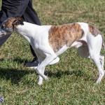 Devil's Isle All Breed Club 2019 Bermuda International Dog Shows Bermuda, November 2 2019-0492