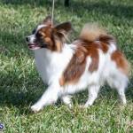 Devil's Isle All Breed Club 2019 Bermuda International Dog Shows Bermuda, November 2 2019-0499