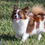 Devil's Isle All Breed Club 2019 Bermuda International Dog Shows Bermuda, November 2 2019-0500