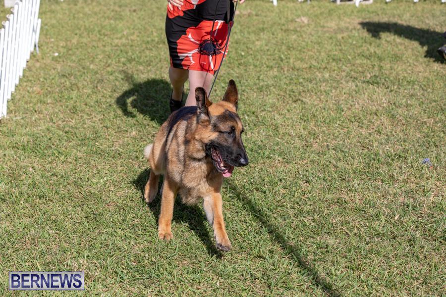 Devils-Isle-All-Breed-Club-2019-Bermuda-International-Dog-Shows-Bermuda-November-2-2019-0511