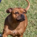 Devil's Isle All Breed Club 2019 Bermuda International Dog Shows Bermuda, November 2 2019-0517