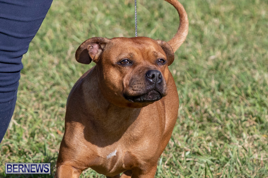 Devils-Isle-All-Breed-Club-2019-Bermuda-International-Dog-Shows-Bermuda-November-2-2019-0517