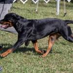 Devil's Isle All Breed Club 2019 Bermuda International Dog Shows Bermuda, November 2 2019-0528