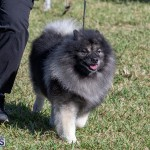 Devil's Isle All Breed Club 2019 Bermuda International Dog Shows Bermuda, November 2 2019-0544
