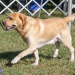 Devil's Isle All Breed Club 2019 Bermuda International Dog Shows Bermuda, November 2 2019-0546