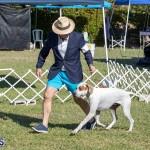 Devil's Isle All Breed Club 2019 Bermuda International Dog Shows Bermuda, November 2 2019-0573