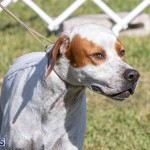 Devil's Isle All Breed Club 2019 Bermuda International Dog Shows Bermuda, November 2 2019-0575
