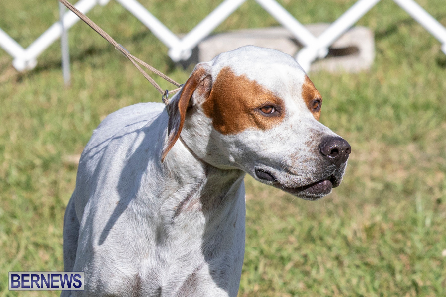 Devils-Isle-All-Breed-Club-2019-Bermuda-International-Dog-Shows-Bermuda-November-2-2019-0575