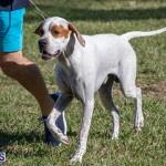 Devil's Isle All Breed Club 2019 Bermuda International Dog Shows Bermuda, November 2 2019-0587