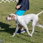 Devil's Isle All Breed Club 2019 Bermuda International Dog Shows Bermuda, November 2 2019-0590