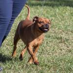 Devil's Isle All Breed Club 2019 Bermuda International Dog Shows Bermuda, November 2 2019-0601