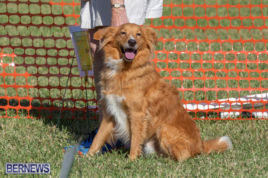 Devils-Isle-All-Breed-Club-2019-Bermuda-International-Dog-Shows-Bermuda-November-2-2019-0611