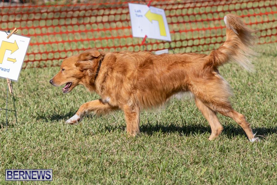 Devils-Isle-All-Breed-Club-2019-Bermuda-International-Dog-Shows-Bermuda-November-2-2019-0613