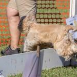 Devil's Isle All Breed Club 2019 Bermuda International Dog Shows Bermuda, November 2 2019-0631