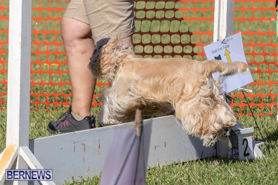 Devils-Isle-All-Breed-Club-2019-Bermuda-International-Dog-Shows-Bermuda-November-2-2019-0631