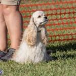 Devil's Isle All Breed Club 2019 Bermuda International Dog Shows Bermuda, November 2 2019-0635