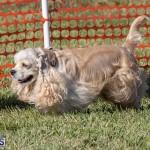 Devil's Isle All Breed Club 2019 Bermuda International Dog Shows Bermuda, November 2 2019-0639