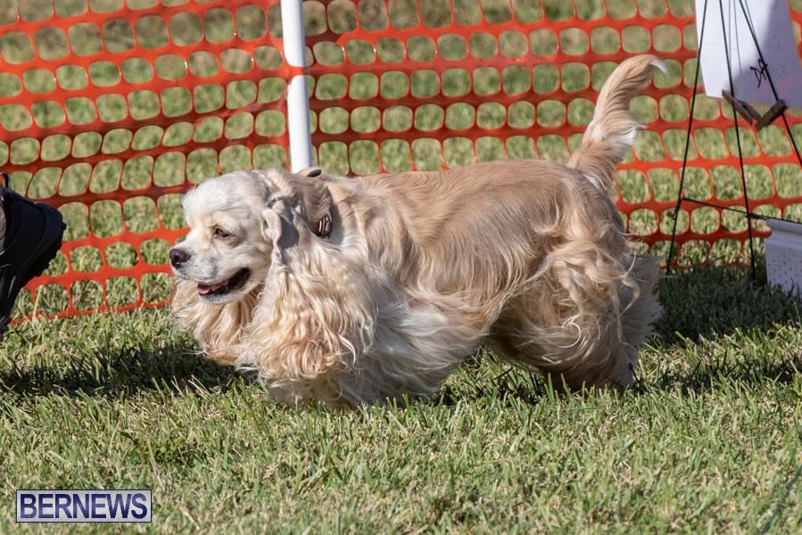 Devils-Isle-All-Breed-Club-2019-Bermuda-International-Dog-Shows-Bermuda-November-2-2019-0639