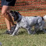 Devil's Isle All Breed Club 2019 Bermuda International Dog Shows Bermuda, November 2 2019-0676