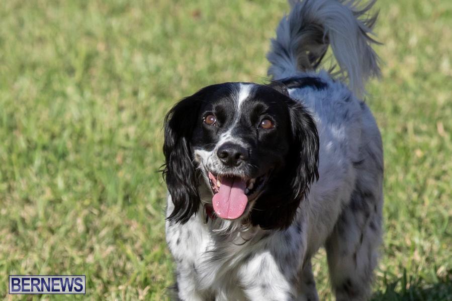 Devils-Isle-All-Breed-Club-2019-Bermuda-International-Dog-Shows-Bermuda-November-2-2019-0680