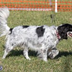 Devil's Isle All Breed Club 2019 Bermuda International Dog Shows Bermuda, November 2 2019-0682